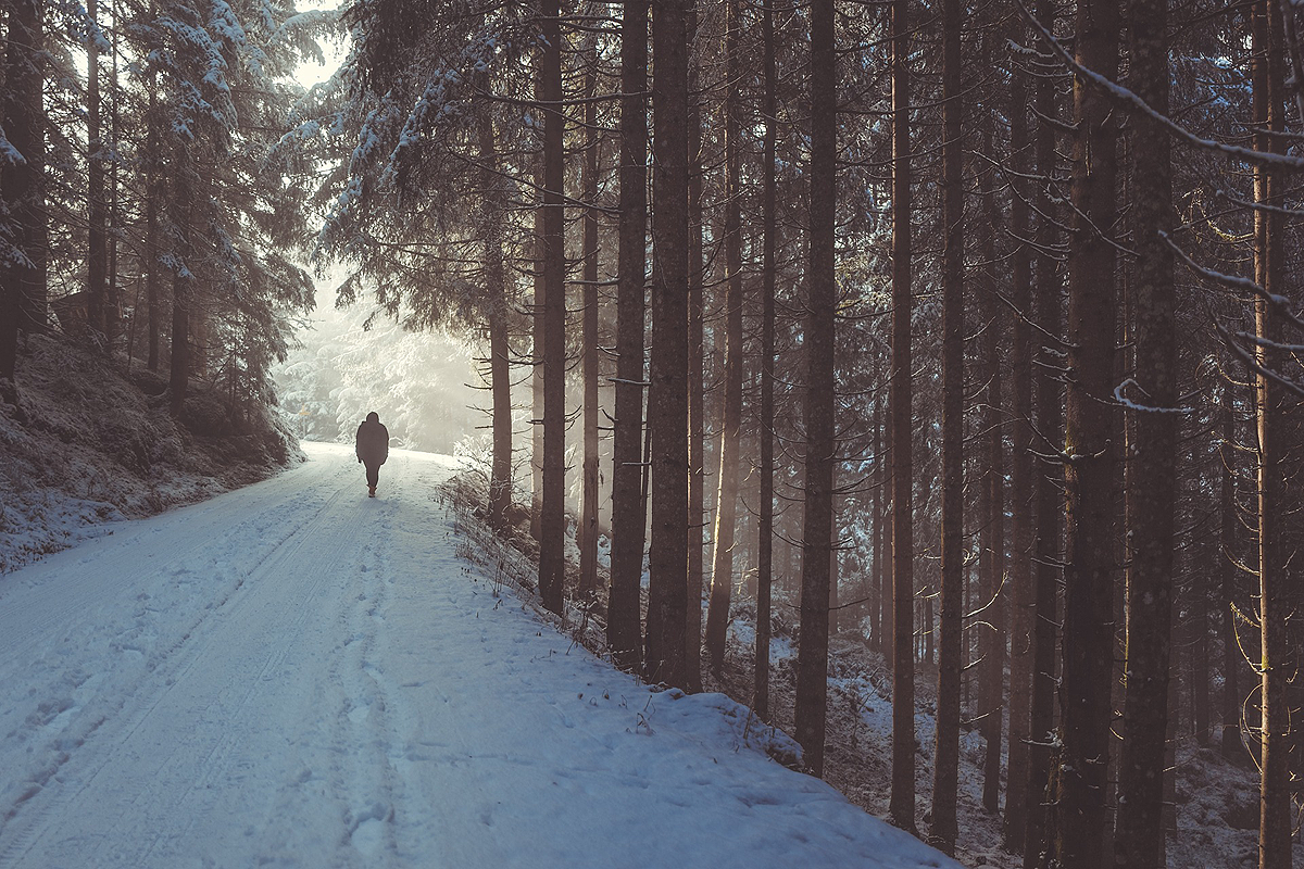 Beautiful winter forest, a snowy path leading into the far away distance. A lone person is walking in the background, tiny amongst the many tall pine trees.
